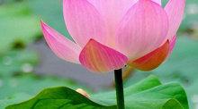 Thumb_lotus