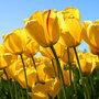 Small_tulips