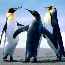Big_penguins